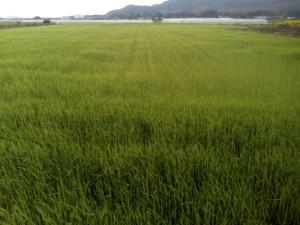 大麦が波打つ